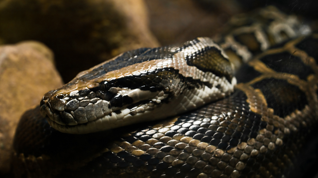 burmese python care the herpetological society of ireland