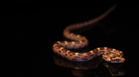 Corn Snake. Image credit: Stephan Muth