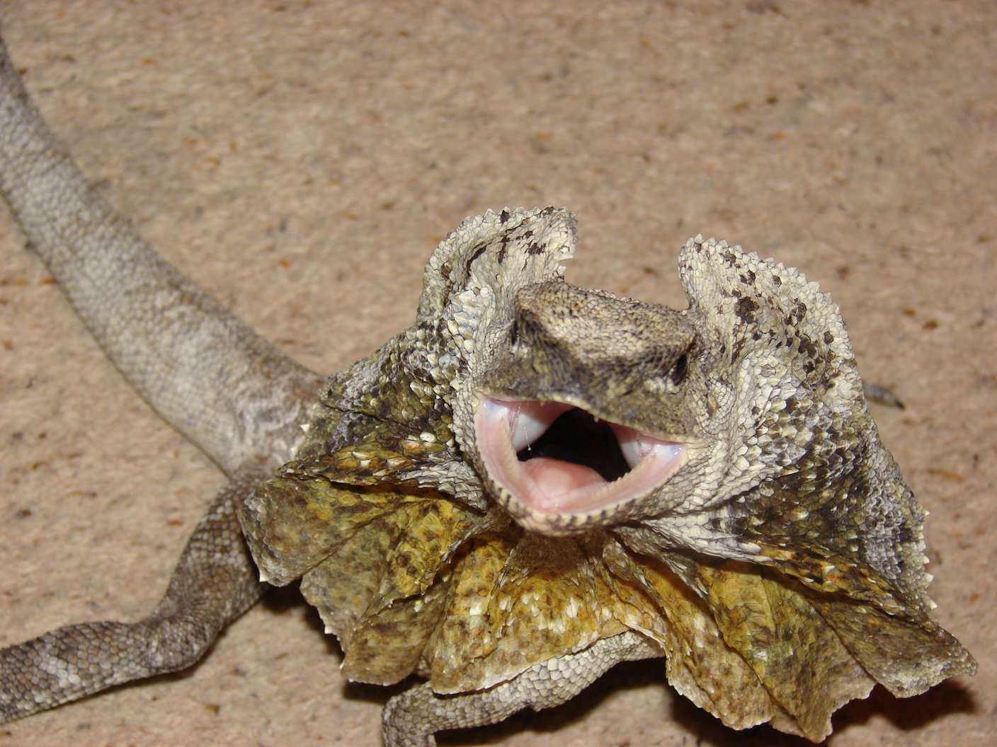 frilled dragon care the herpetological society of ireland