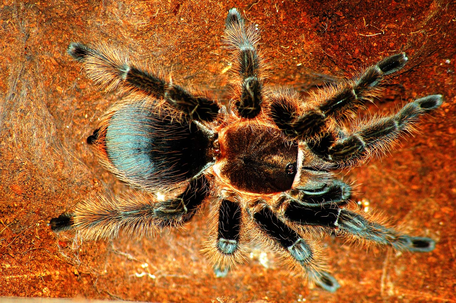 Honduran Curly-Haired Tarantula Care – The Herpetological ... on map where do tarantula, how long do tarantulas live, map of where camels are from, where do tarantulas live, map where do lizards live on a glass, map of brown recluse spiders in the us, map of arkansas, were tarantula live, map where do praying mantis live, map of mississippi natural resources, maps of where the brown widows live, map of tarantulas in us, map of tarantula hawk wasp,