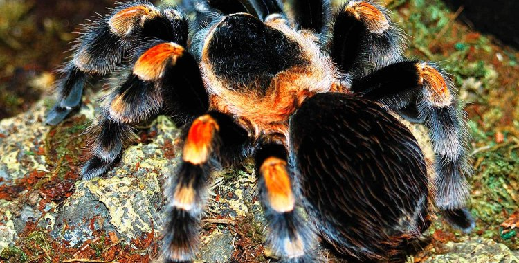 Mexican Red-Knee Tarantula Care – The Herpetological Society ... on map where do tarantula, how long do tarantulas live, map of where camels are from, where do tarantulas live, map where do lizards live on a glass, map of brown recluse spiders in the us, map of arkansas, were tarantula live, map where do praying mantis live, map of mississippi natural resources, maps of where the brown widows live, map of tarantulas in us, map of tarantula hawk wasp,
