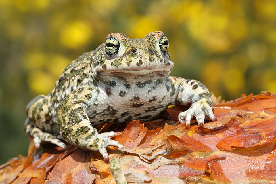 Natterjack Toad – The Herpetological Society of Ireland