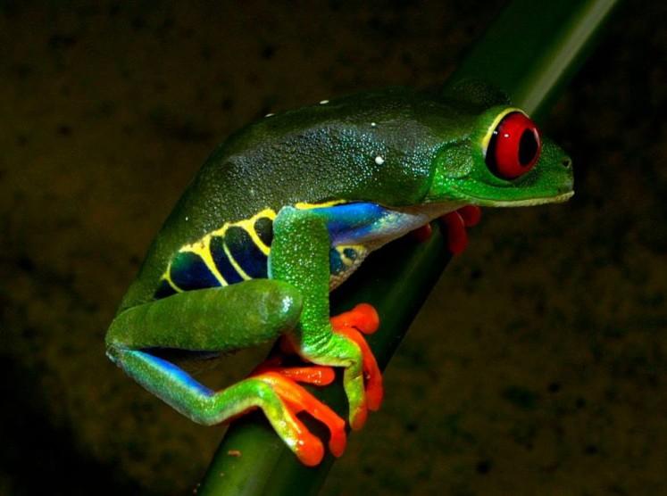 Agalychnis callidryas. Credit: Ian Millichip