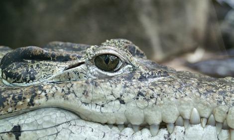 crocodile-66886_640