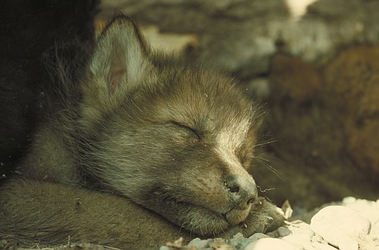 Sleeping Wolf Cub. Credit: Superior National Forest