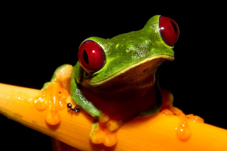 Cute, not cruel. An ethically sourced picture of a cute red-eyed tree frog. Credit: Brian Gratwicke