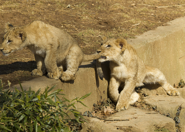 Lion cubs photographed at a reputable zoo. Credit: Ken_from_MD