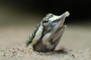 African Softshell Turtle. Credit: Ruben Undheim