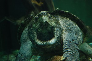 An alligator snapping turtle. Photo credit: Christopher Evans