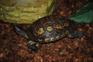 Painted Wood Turtle. Photo credit: Cat Hendry