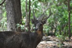 Deer on Komodo Island, common prey of the Komodo dragon. Photo by John Dunbar