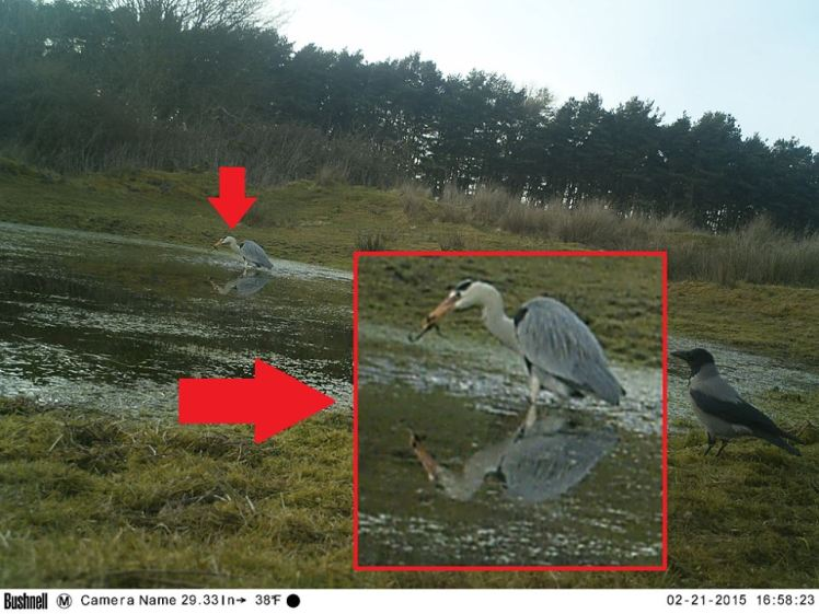 This opportunistic heron avails of the sudden glut of prey.