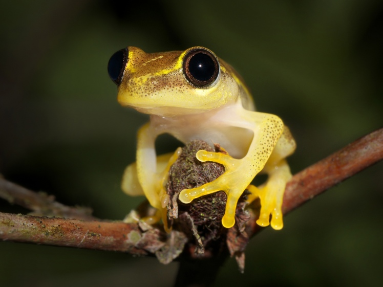 Heterixalus punctatus, an endemic species of Madagascar Credit: Frank Vassen