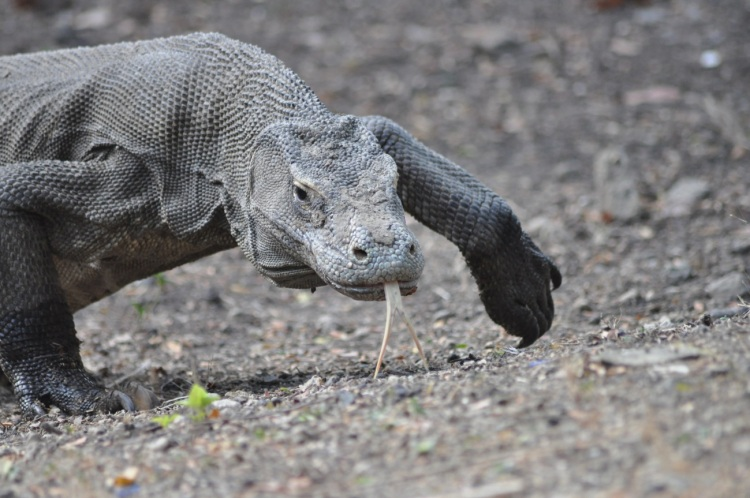Komodo dragon on the island of Rinca. Photo by John Dunbar