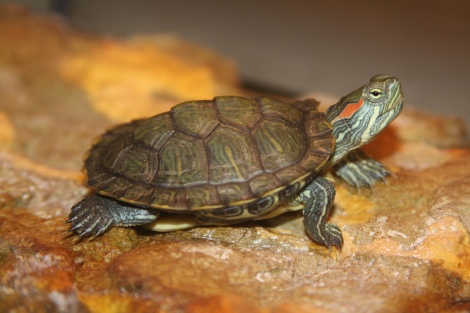 Red-eared slider. Photo credit: Jim the Photographer