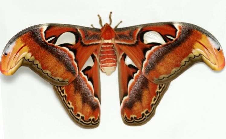 Female moth. Credit: Emma lawlor