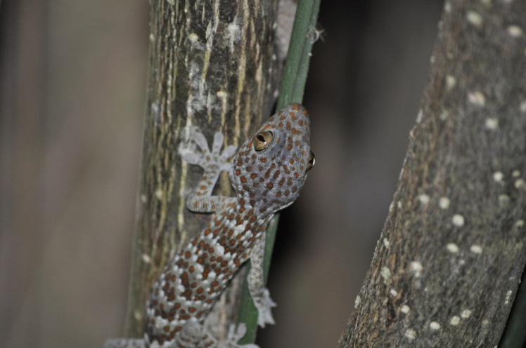 Tokay gecko (Gekko gecko) in a forested region of Bali. Photo by John Dunbar