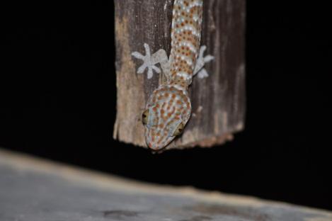 Tokay gecko (Gekko gecko) on Kanawa island in Komodo National Park. Photo by John Dunbar