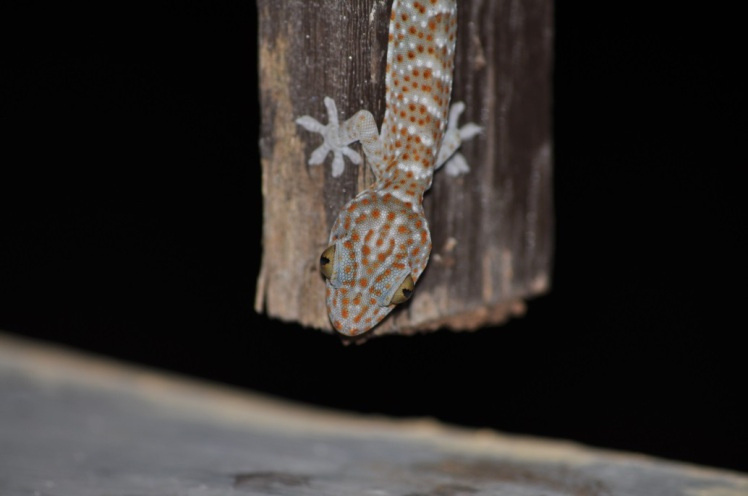 Tokay gecko (Gekko gecko) on Kanawa island in Komodo National Park. Photo by John Dunbar