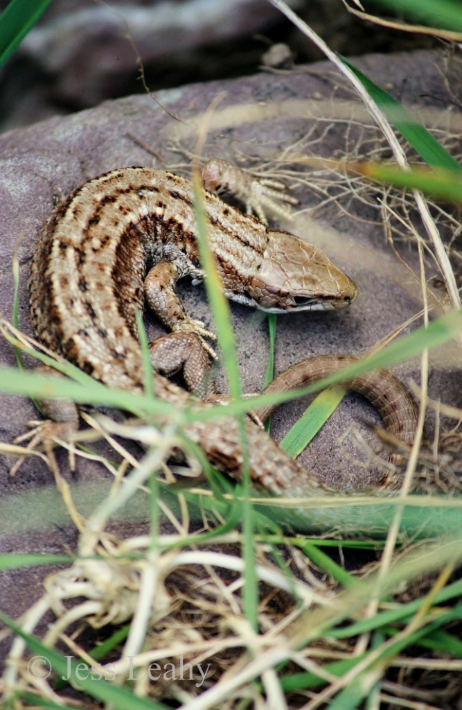 A clearer view of a basking lizard Credit: Jess Leahy