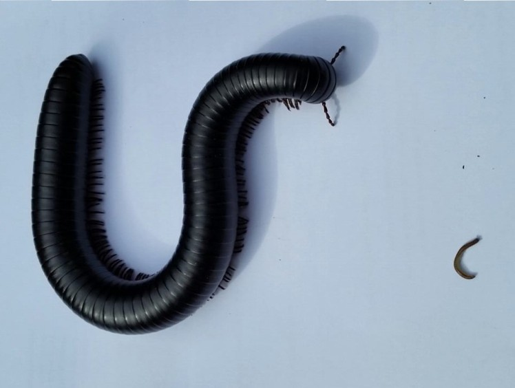 A Giant African Millipede alongside and Irish species. Credit: Collie Ennis