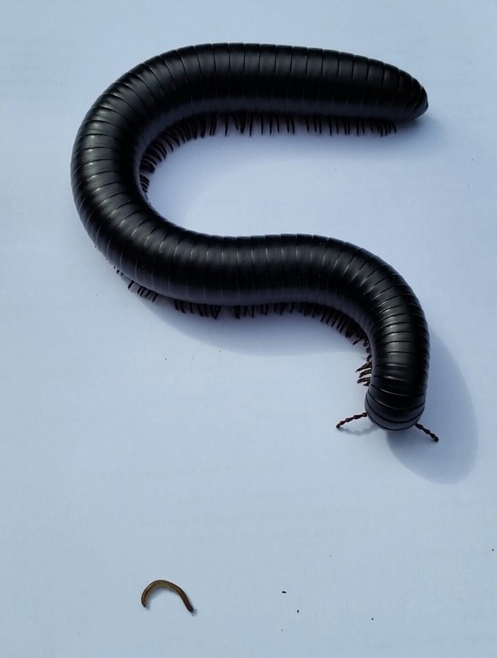 Giant African Train Millipede Care – The Herpetological