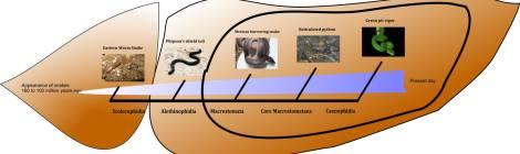extant Snake Phylogeny Credit : JP Dunbar