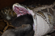 A Burmese python swallows a large rabbit Credit: JP Dunbar