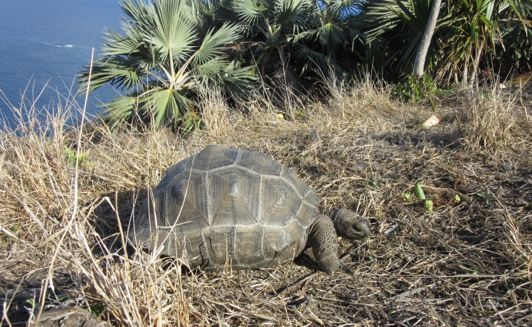 A tortoise that has been introduced to Ile aux Aigrettes. Credit: Maeve Quaid.
