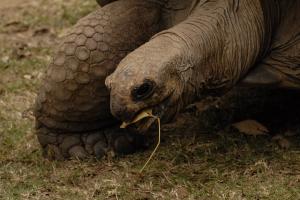Aldabran Tortoise at the  Tsimbazaza Zoo . Credit: Rob Gandola