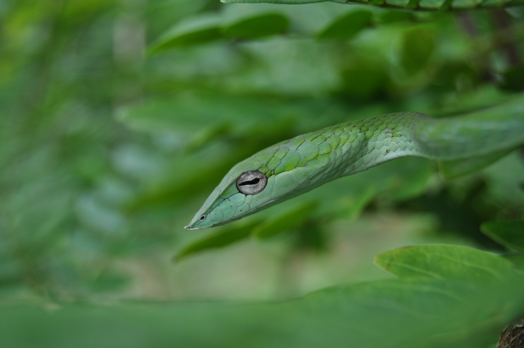 This Vine Snake was one of many found near the Agumbe Rainforest Research Station . Credit: JP Dunbar
