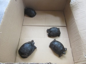 Young tortoises being transported to a nursery on Ile aux Aigrettes Credit: Maeve Quaid