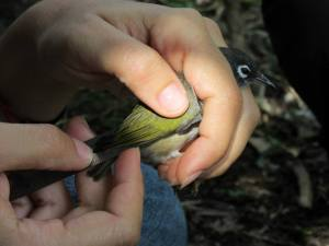 Taking morphometrics of an Olive White Eye. Credit: Maeve Quaid