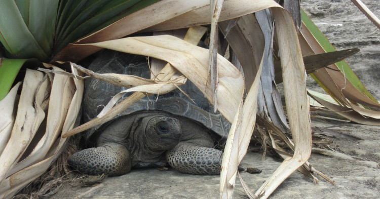 A tortoise seeks shade from the hot midday sun. Credit: Maeve Quaid