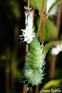 Caterpillar moulting. Credit: Emma lawlor
