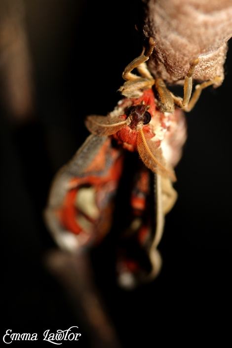 Moth emerging from cocoon. Credit: Emma Lawlor