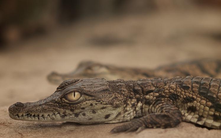 Could global warming make male crocodiles rarer? Credit: DevStopPix