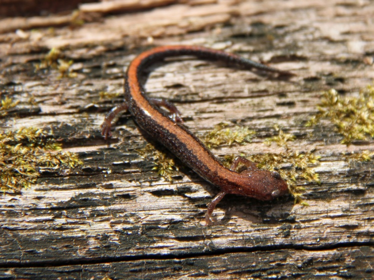 Southern Red-Backed Salamander Credit: Greg Schechter