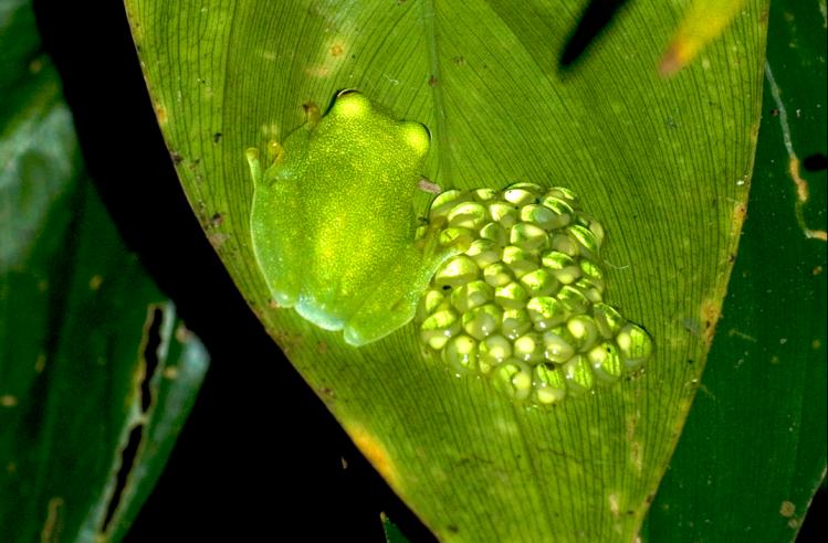 Hyalinobatrachium fleischmanni attending a clutch. Credit: Rob Gandola