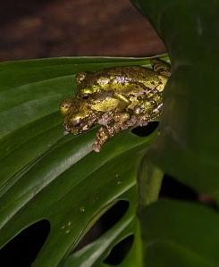 Isthmoyla lancasteri breeding. Credit: Rob Gandola