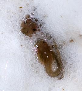 Leptodactylus savagei tadpoles in a foam nest. Credit: Rob Gandola