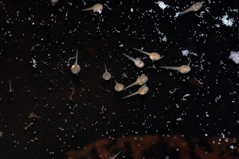 These tadpoles were found in a pool formed in a tree hollow. Credit: Rob Gandola