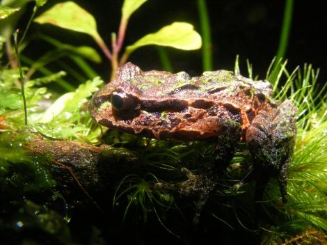Archey's Frog. Credit: Dr. Bastian Egeter