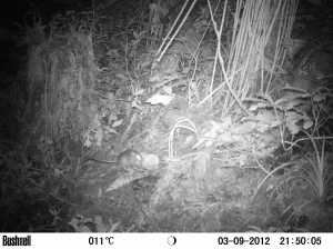 Camera trap shot of rat visiting bait trap. Credit: Dr. Bastian Egeter