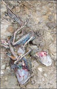 Carcasses of common frog, Ireland, with rat droppings nearby. Credit: Dr. Chris Smal