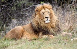The trophy hunting of species such as lions has stirred great controversy in recent weeks Credit: Derek Keats