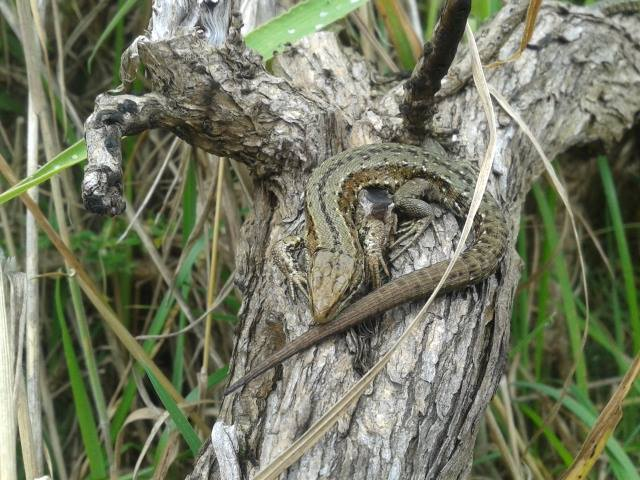 One of many common lizards encountered at Howth Head