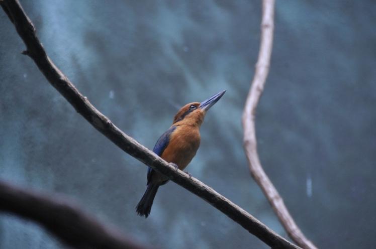 Micronesian kingfisher. Now extinct on Guam. Credit: Eric Savage