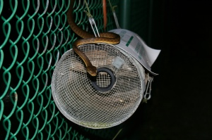 Brown tree snake approaching a trap. Credit: USDA