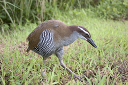 The Guam rail became locally extinct on Guam in the 1980s. Credit: USDA